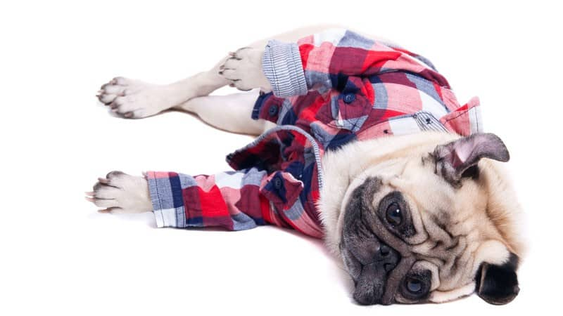 dreamstime_depressed-pug-dog